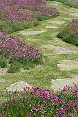 Gazon d'espagne 'Splendens' avec allée engazonnée et dalles de pierre. Jardin Georges Delaselle, île de Batz. Finistère. Bretagne. France.