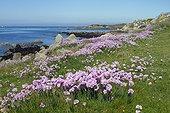 Gazon d'espagne en fleur sur l'Ile de Batz. Finistère. Bretagne. France.