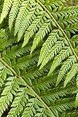 Hard shield fern (Polystichum aculeatum) foliage