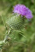 Spear thistle (Cirsium vulgare) flower