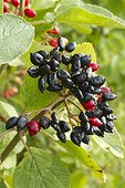 Viorne mancienne (Viburnum lantana) fruits