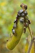 Green stink bug (Nezara viridula) on Soya bean (Glycine max) pod