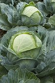 Sweetheart cabbage cultivation - Krautergersheim, Bas-Rhin. Alsace. France.