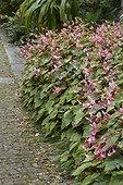 Bégonia rustique (Begonia grandis subsp. evansiana)en fleurs au bord d'une allée pavée.