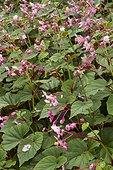 Bégonia rustique (Begonia grandis subsp. evansiana) fleurs