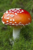 Fly agaric or fly amatina (Amanita muscaria) and moss (Polytrichum spec.).
