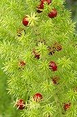 Foxtail fern (Asparagus densiflorus) 'Meyeri'