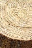 Japanese cedar (Cryptomeria japonica) cut