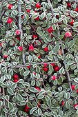 Creeping cotoneaster (Cotoneaster radicans) fruits and foliage