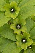 Deherainia smaragdina in bloom