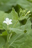 Bentham's tabacco (Nicotiana benthamiana) flower