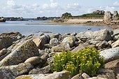 Golden samphire (Inula crithmoides) Bréhat island, Côtes d'Armor, Bretagne, France.