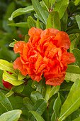 Double flowering pomegranate (Punica granatum) 'Plena