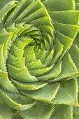 Rosette d'Aloès spirale (Aloe polyphylla).