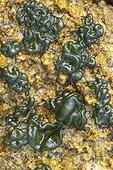 Rivulaire en forme de bulle (Rivularia bullata), Trébeurden, Côtes-d'Armor, Bretagne, France
