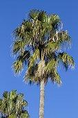 Mexican Fan Palm (Washingtonia robusta)
