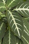Trailing velvet plant (Ruellia makoyana) foliage
