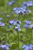Field forget-me-not (Myosotis arvensis) flowers