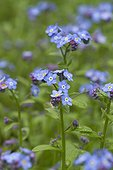 Myosotis des champs (Myosotis arvensis) en fleurs
