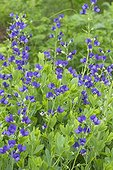 Blue false indigo (Baptisia australis) flowers