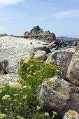 Rock samphire (Crithmum maritimum) and Golden samphire (Inula crithmoides), Bretagne, France