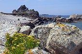 Golden samphire (Inula crithmoides). Isle of Bréhat, Côtes d'Armor. Britain. La France.