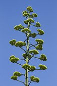 American century plant (Agave americana) inflorescence