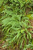 Hard fern (Struthiopteris spicant)