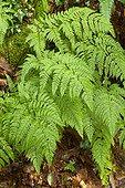 Hay-scented buckler fern (Dryopteris aemula)