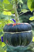 Potiron turban, Giraumon turban (Cucurbita maxima) 'Turban Turc'