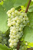Grapes 'Pinot Blanc'