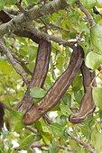 Carob tree (Ceratonia siliqua) fruits