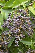Broad-leaf privet (Ligustrum lucidum) fruits