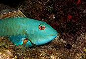 Yellowtail parrotfish (Sparisoma rubripinne) mlae, Playa del Carmen, Yucatan, Mexico, Caribbean Sea