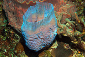 Barrel Sponge (Xestospongia testudinaria), Cozumel, Caribbean Sea, Yucatan, Mexico