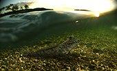 Atlantic mudskipper; Periophthalmus barbarus. In shallow water. Composite image. São Tomé Island, Portugal. Composite image