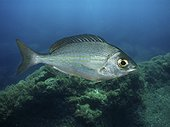 Black seabream; Spondyliosoma cantharus. Lateral view of young animal. Composite image. Portugal.. Composite image