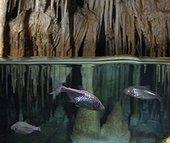 Blind cave tetra, Astayanax jordani. Inside underwater cave. Composite image. Portugal. Composite image