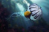 Garibaldi damselfish, Hypsypops rubicundus.In association with Chrysaora colorata Jellyfish. Composite image. Composite image