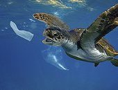 Hawksbill sea turtle (Eretmochelys imbricata) biting a garbage condom. Composite image. Portugal. Composite image