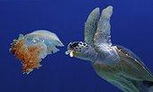 Hawksbill sea turtle (Eretmochelys imbricata) eating medusa or jellyfish. Composite image. Portugal. Composite image