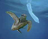 Hawksbill sea turtle (Eretmochelys imbricata) looking at a garbage condom; Composite image. Portugal. Composite image