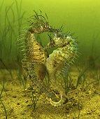Long-snouted seahorse (Hippocampus guttulatus). Mating. Composite image. Portugal.. Composite image