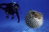 Longspined porcupinefish, Diodon holocanthus. Frontal view with diver. Inflated with water. Composite image. Portugal.. Composite image