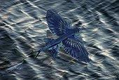 Mediterranean flyingfish, Cheilopogon heterurus. Dorsal view. Composite image. Madeira, Portugal.. Composite image