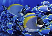 Powderblue surgeonfish, Acanthurus leucosternon. School. Composite image. Portugal.. Composite image
