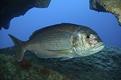 Red porgy; Pagrus pagrus. Lateral view inside cave. Composite image. Portugal.. Composite image