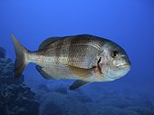 Redbanded seabream; Pagrus auriga. Lateral view. Composite image. Portugal.. Composite image