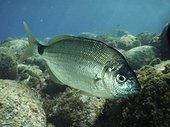 Senegal seabream; Diplodus bellotti. Lateral view. Composite image. Portugal.. Composite image