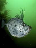 Silvery John dory, Zenopsis conchifer. Frontal view. Composite image. Portugal.. Composite image